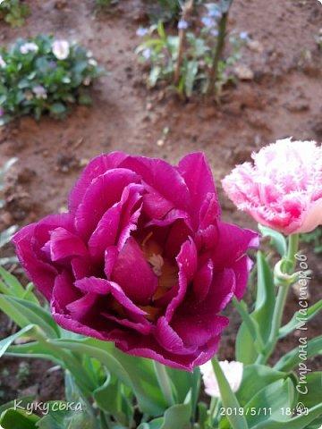 Наступила долгожданная весенняя пора. Раскрыли солнышку свои объятия тюльпаны! фото 14