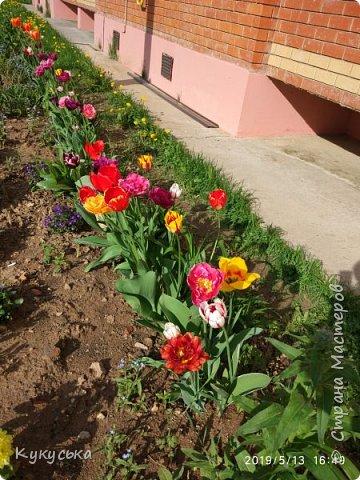 Наступила долгожданная весенняя пора. Раскрыли солнышку свои объятия тюльпаны! фото 3