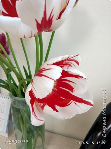 Наступила долгожданная весенняя пора. Раскрыли солнышку свои объятия тюльпаны! фото 8