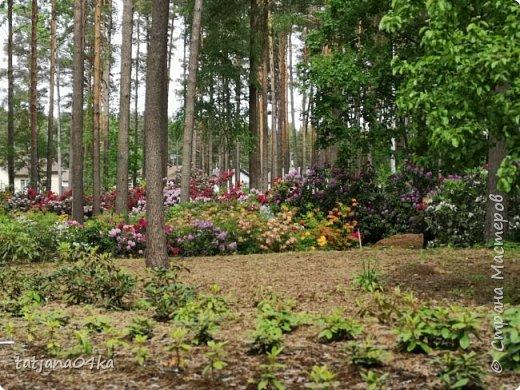 Эта поездка полностью изменила моё представление о таком кустарнике как рододендрон,,я всегда думала что это растение всего 1 метр высотой,,,а оказывается такое чууудо  дерево,,,,,,,Пока мы гуляли и наслаждались цвететние ,мы  встретили свадебные пары,массу людей которые просто фотографировались ,на фоне такой красоты,,, фото 4