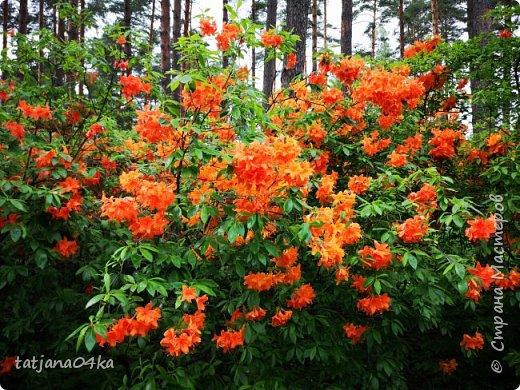Эта поездка полностью изменила моё представление о таком кустарнике как рододендрон,,я всегда думала что это растение всего 1 метр высотой,,,а оказывается такое чууудо  дерево,,,,,,,Пока мы гуляли и наслаждались цвететние ,мы  встретили свадебные пары,массу людей которые просто фотографировались ,на фоне такой красоты,,, фото 3