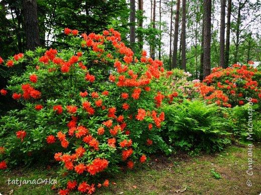 Эта поездка полностью изменила моё представление о таком кустарнике как рододендрон,,я всегда думала что это растение всего 1 метр высотой,,,а оказывается такое чууудо  дерево,,,,,,,Пока мы гуляли и наслаждались цвететние ,мы  встретили свадебные пары,массу людей которые просто фотографировались ,на фоне такой красоты,,, фото 2