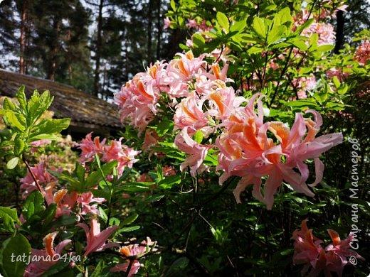Эта поездка полностью изменила моё представление о таком кустарнике как рододендрон,,я всегда думала что это растение всего 1 метр высотой,,,а оказывается такое чууудо  дерево,,,,,,,Пока мы гуляли и наслаждались цвететние ,мы  встретили свадебные пары,массу людей которые просто фотографировались ,на фоне такой красоты,,, фото 9