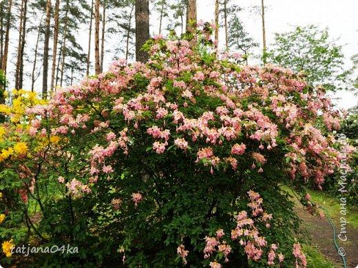 Эта поездка полностью изменила моё представление о таком кустарнике как рододендрон,,я всегда думала что это растение всего 1 метр высотой,,,а оказывается такое чууудо  дерево,,,,,,,Пока мы гуляли и наслаждались цвететние ,мы  встретили свадебные пары,массу людей которые просто фотографировались ,на фоне такой красоты,,, фото 21
