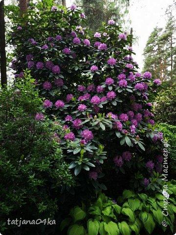 Эта поездка полностью изменила моё представление о таком кустарнике как рододендрон,,я всегда думала что это растение всего 1 метр высотой,,,а оказывается такое чууудо  дерево,,,,,,,Пока мы гуляли и наслаждались цвететние ,мы  встретили свадебные пары,массу людей которые просто фотографировались ,на фоне такой красоты,,, фото 8