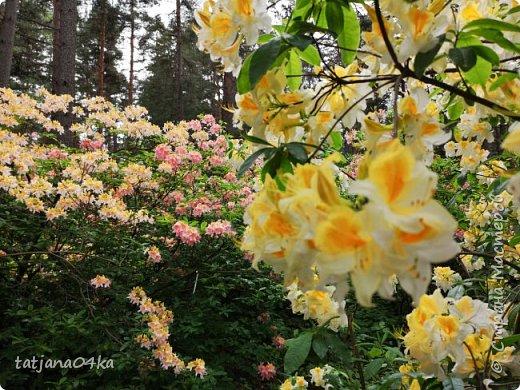 Эта поездка полностью изменила моё представление о таком кустарнике как рододендрон,,я всегда думала что это растение всего 1 метр высотой,,,а оказывается такое чууудо  дерево,,,,,,,Пока мы гуляли и наслаждались цвететние ,мы  встретили свадебные пары,массу людей которые просто фотографировались ,на фоне такой красоты,,, фото 19