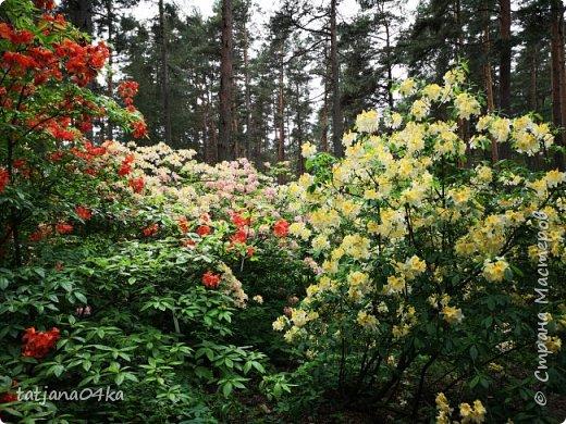 Эта поездка полностью изменила моё представление о таком кустарнике как рододендрон,,я всегда думала что это растение всего 1 метр высотой,,,а оказывается такое чууудо  дерево,,,,,,,Пока мы гуляли и наслаждались цвететние ,мы  встретили свадебные пары,массу людей которые просто фотографировались ,на фоне такой красоты,,, фото 13