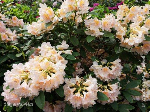 Эта поездка полностью изменила моё представление о таком кустарнике как рододендрон,,я всегда думала что это растение всего 1 метр высотой,,,а оказывается такое чууудо  дерево,,,,,,,Пока мы гуляли и наслаждались цвететние ,мы  встретили свадебные пары,массу людей которые просто фотографировались ,на фоне такой красоты,,, фото 17