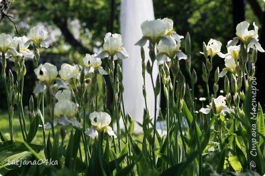 А я сегодня  сама себе сделала замечание,,,я совсем ничего незнаю про ирисы,,,погуляла по огороду и поняла что сорта незнаю,,,просто собирала этот цветок из за его красоты,,совсем не вникая  в названия,,,вечером добралась до интернета,,,полистала ,почитала и ещё больше удивилась красоте цветка фото 4