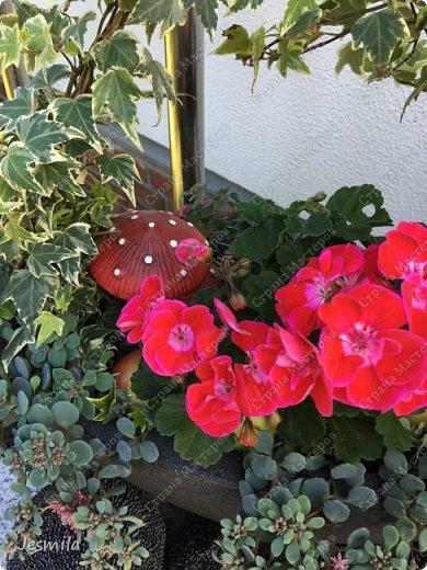 С помощью растений: герани, суккуленты, плющ (хедера) выросла корзинка фото 2