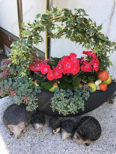 С помощью растений: герани, суккуленты, плющ (хедера) выросла корзинка фото 1