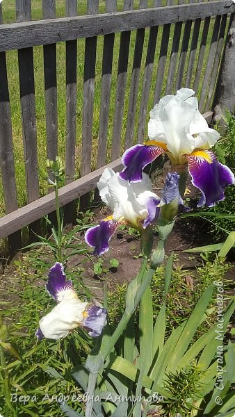 Всем доброго дня! Насмотревшись у девочек красоты, захотелось и мне своими цветочками похвастаться.))) Вот такой пышный букет пионов встретил меня сегодня утром. фото 10
