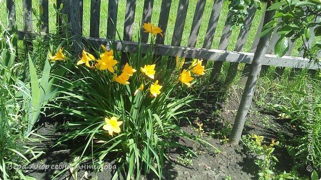 Всем доброго дня! Насмотревшись у девочек красоты, захотелось и мне своими цветочками похвастаться.))) Вот такой пышный букет пионов встретил меня сегодня утром. фото 3