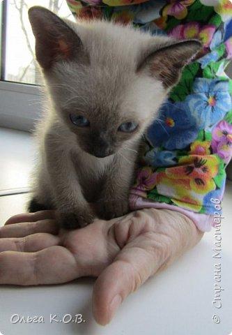 7 октября родился котенок. 21 ноября он стал моим. Можно сказать- я его спасла за деньги  Заплатила 3500 , подарила подарок заводчице и. скорее ушла. И вот он мой. СЕНЯ