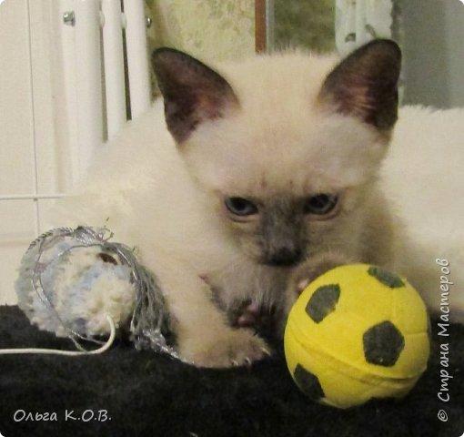 7 октября родился котенок. 21 ноября он стал моим. Можно сказать- я его спасла за деньги  Заплатила 3500 , подарила подарок заводчице и. скорее ушла. И вот он мой. СЕНЯ  фото 10