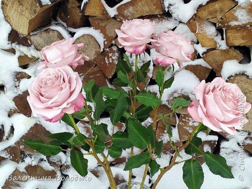 Добрый вечер мастера и мастерицы!!!Сегодня у меня розы.Вчера днем шел дождь,а ночь метель,вот и  фотографировала розы  в снегу. фото 3