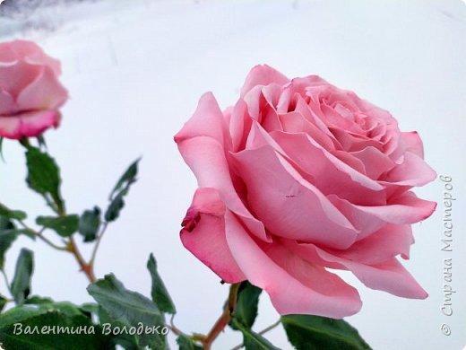 Добрый вечер мастера и мастерицы!!!Сегодня у меня розы.Вчера днем шел дождь,а ночь метель,вот и  фотографировала розы  в снегу. фото 5