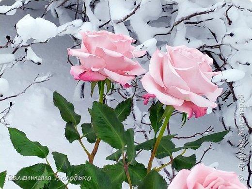 Добрый вечер мастера и мастерицы!!!Сегодня у меня розы.Вчера днем шел дождь,а ночь метель,вот и  фотографировала розы  в снегу. фото 6