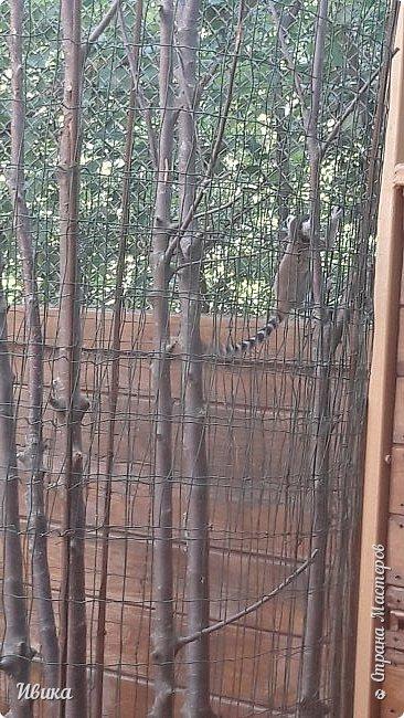 """Доброго времени суток, дорогие соседи! У меня ещё одна небольшая часть о Черкасском зоопарке (Украина). Этого красавца вы уже видели в зимнем репортаже. Амурский барс. Когда мы подошли, он спал. Вместе с нами ещё семья с детками была. Вот восторженный писк одной из """"кнопок"""" и разбудил красавца. фото 10"""