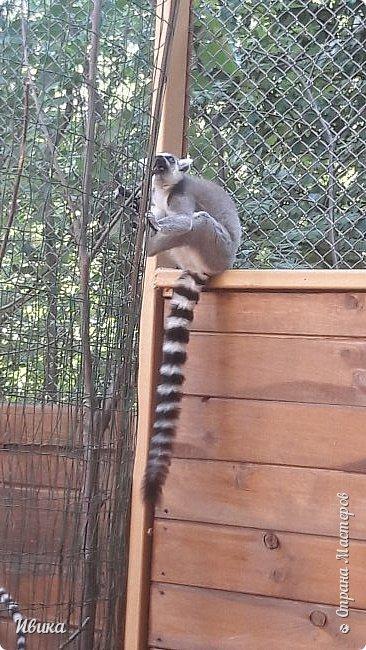 """Доброго времени суток, дорогие соседи! У меня ещё одна небольшая часть о Черкасском зоопарке (Украина). Этого красавца вы уже видели в зимнем репортаже. Амурский барс. Когда мы подошли, он спал. Вместе с нами ещё семья с детками была. Вот восторженный писк одной из """"кнопок"""" и разбудил красавца. фото 9"""