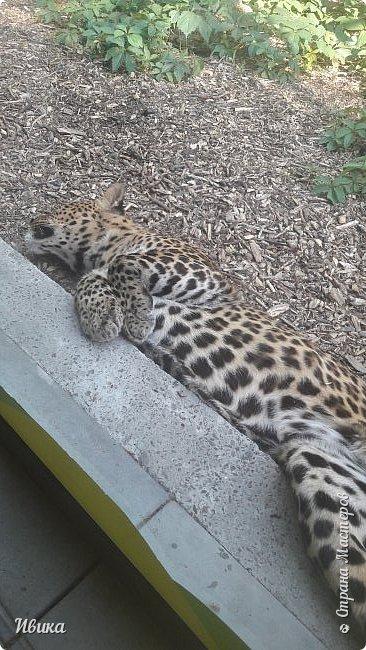"""Доброго времени суток, дорогие соседи! У меня ещё одна небольшая часть о Черкасском зоопарке (Украина). Этого красавца вы уже видели в зимнем репортаже. Амурский барс. Когда мы подошли, он спал. Вместе с нами ещё семья с детками была. Вот восторженный писк одной из """"кнопок"""" и разбудил красавца. фото 3"""