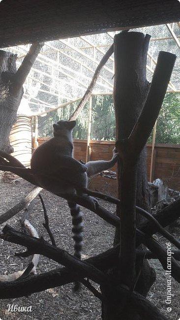 """Доброго времени суток, дорогие соседи! У меня ещё одна небольшая часть о Черкасском зоопарке (Украина). Этого красавца вы уже видели в зимнем репортаже. Амурский барс. Когда мы подошли, он спал. Вместе с нами ещё семья с детками была. Вот восторженный писк одной из """"кнопок"""" и разбудил красавца. фото 16"""