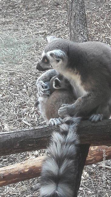 """Доброго времени суток, дорогие соседи! У меня ещё одна небольшая часть о Черкасском зоопарке (Украина). Этого красавца вы уже видели в зимнем репортаже. Амурский барс. Когда мы подошли, он спал. Вместе с нами ещё семья с детками была. Вот восторженный писк одной из """"кнопок"""" и разбудил красавца. фото 17"""