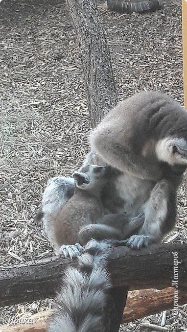 """Доброго времени суток, дорогие соседи! У меня ещё одна небольшая часть о Черкасском зоопарке (Украина). Этого красавца вы уже видели в зимнем репортаже. Амурский барс. Когда мы подошли, он спал. Вместе с нами ещё семья с детками была. Вот восторженный писк одной из """"кнопок"""" и разбудил красавца. фото 18"""