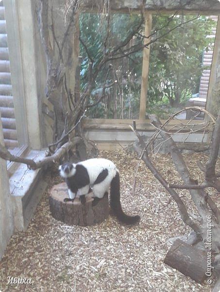 """Доброго времени суток, дорогие соседи! У меня ещё одна небольшая часть о Черкасском зоопарке (Украина). Этого красавца вы уже видели в зимнем репортаже. Амурский барс. Когда мы подошли, он спал. Вместе с нами ещё семья с детками была. Вот восторженный писк одной из """"кнопок"""" и разбудил красавца. фото 19"""