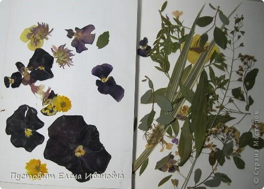 Вот такой букетик анютиных глазок появился у нас в кружковой на одном из последних занятий.Работа выполнена в древней японской технике «ошибана»-в этой технике используются растения,засушенные под прессом. Научное название этого цветка по-латыни «виола триколор » — фиалка трехцветная. Принадлежит она к семейству фиалковых. Это двулетнее травянистое растение с одиночными цветками на длинных стеблях. Цветки ее действительно трех цветов: верхние их лепестки окрашены в фиолетовый или темно-синий цвета, нижние — в белый или желтый, а центральная часть оранжево-желтая. Этим она отличается от своей ближайшей родственницы — фиалки душистой. В на- роде существуют и другие ее названия: анютины глазки, братики, брат-и-сестра, сороканедужник, полуцвет, трехцветка, топорчики. Цветет фиалка трехцветная с апреля до осени. . Дикое растение со скромными желто-лиловыми цветками превратилось в крупные, восхитительные нежно-бархатистые анютины глазки. Первая попытка сделать этот цветок садовым была предпринята в XVI веке в садах принца Вильгельма Гессен-Кассельского. Очень любил фиалки Гёте. Каждую весну он сам их сеял в окрестностях Веймара. До сих пор эти цветы называют там «цветами Гёте», а немецкие садовники вывели сорта «Доктор Фауст» (почти черные).  фото 2