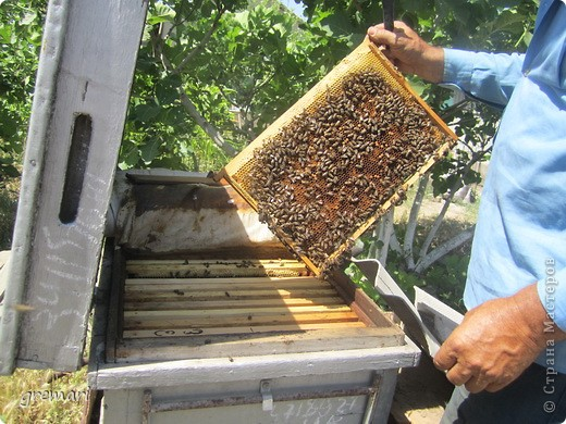 2 июля — Пчелиный день: «Рой роится, Зосима- Савватий веселится».  Русские святые Зосима и Савватий яляются покровителями пчёл. В этот день по чистой росистой траве и стар и млад выходили в луга, наблюдали за работой пчёл, шли на пасеки, слушали рассказы мудрых русских пасечников, знающих, как растет трава, как цветут цветы, как собирается по многим цветам сладкий мед в соты.  С сайта Русский фольклор.  фото 5