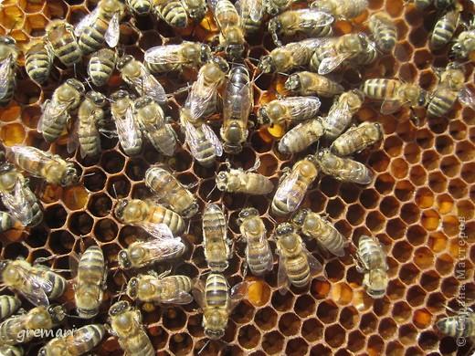 2 июля — Пчелиный день: «Рой роится, Зосима- Савватий веселится».  Русские святые Зосима и Савватий яляются покровителями пчёл. В этот день по чистой росистой траве и стар и млад выходили в луга, наблюдали за работой пчёл, шли на пасеки, слушали рассказы мудрых русских пасечников, знающих, как растет трава, как цветут цветы, как собирается по многим цветам сладкий мед в соты.  С сайта Русский фольклор.  фото 7