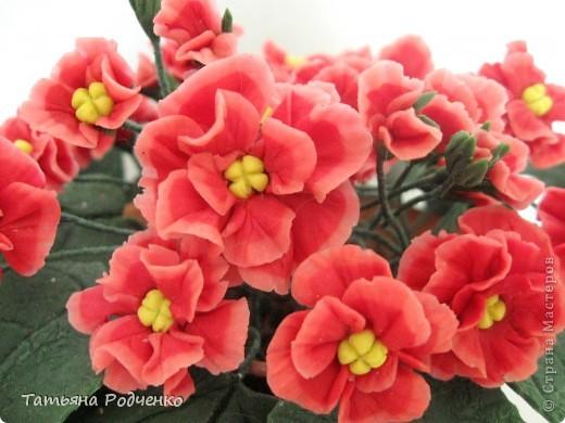 Цветоводам очень полюбилось это довольно неприхотливое растение, которое способно цвести круглый год. Селекционеры каждый год выводят все новые сорта, разнообразные по окраске и форме цветков.    фото 3