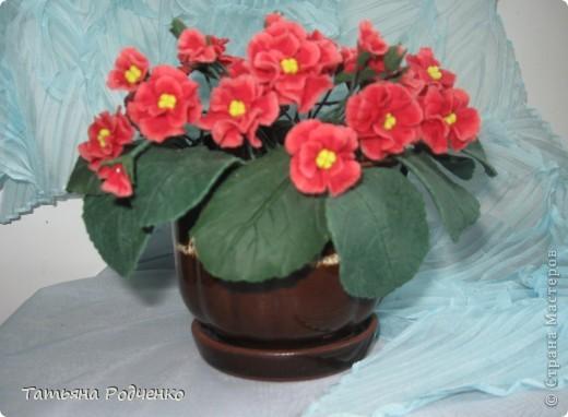 Цветоводам очень полюбилось это довольно неприхотливое растение, которое способно цвести круглый год. Селекционеры каждый год выводят все новые сорта, разнообразные по окраске и форме цветков.    фото 2