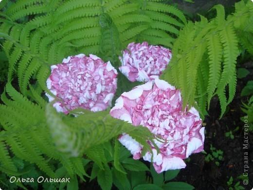 Вот такой цветок расцвёл у нас в папоротнике,не дождавшись 7 июля. фото 5