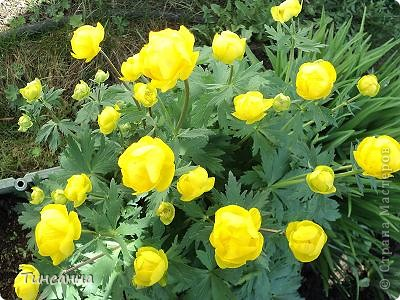6 июля по народному календарю- Аграфена купальница. Выбрала этот день, потому, что мне очень нравятся цветы купальницы, и еще это день рождения моей бабушки. А поскольку родилась она давно, в начале XXв., в деревне, то и имя ей дали в честь этой святой-Агриппина.  Купальница, купальница, цветок желанный мой! Давно тебя не видела, ты в стороне родной Цветешь в начале лета не только на лугах, А выше и красивее среди берез и трав. Твои цветочки-розочки навеют аромат; И нежно-желто-солнечный не броский твой наряд. (Анастасия Климова)  фото 7