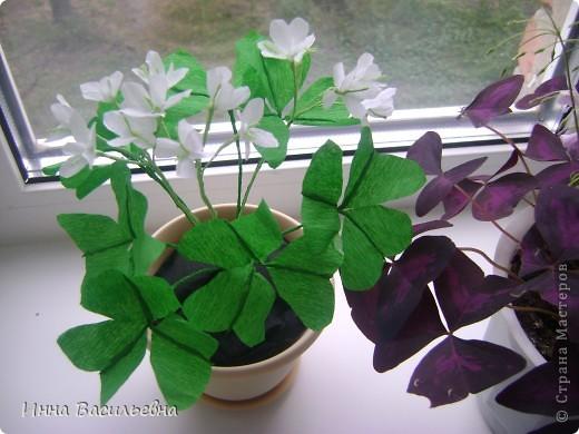 Кислица (Oxalis) - это многолетнее травянистое растение семейства кисличных с тройчатосложными листьями на длинных черешках, со стелющимися побегами и скромными цветками различной окраски: от белой до фиолетовой. фото 3