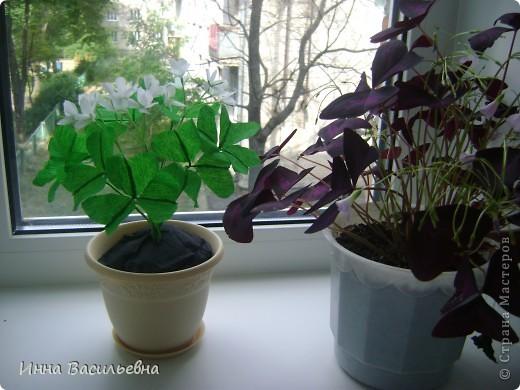 Кислица (Oxalis) - это многолетнее травянистое растение семейства кисличных с тройчатосложными листьями на длинных черешках, со стелющимися побегами и скромными цветками различной окраски: от белой до фиолетовой. фото 4