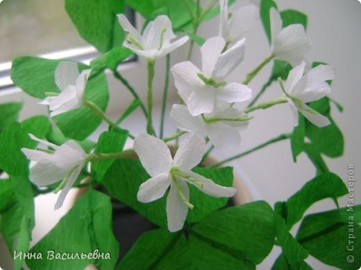 Кислица (Oxalis) - это многолетнее травянистое растение семейства кисличных с тройчатосложными листьями на длинных черешках, со стелющимися побегами и скромными цветками различной окраски: от белой до фиолетовой. фото 2