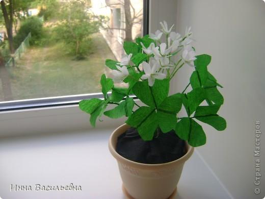 Кислица (Oxalis) - это многолетнее травянистое растение семейства кисличных с тройчатосложными листьями на длинных черешках, со стелющимися побегами и скромными цветками различной окраски: от белой до фиолетовой. фото 1