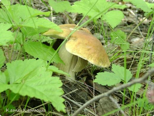 Какой гриб выбрать вкусный или красивый? фото 10