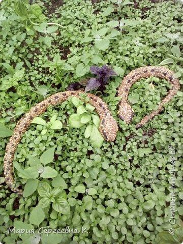 Змея медянка фото 3