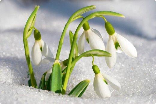 Чудесные белые колокольчики хрупкого цветка появляются ранней весной, когда в лесу еще лежит снег. Поэтому в народе его называют подснежником. Ботаническое название подснежника – галантус .        Все без исключения представители рода подснежников являются охраняемыми растениям, т.к. многие из них стоят на грани исчезновения.      Хочется верить, что сохранить популяцию подснежника удастся, ведь его защитой занимается Красная книга России ( с1981 года.) Если собирать и продавать первоцветы, мы будем уничтожать их, а покупая – вознаграждать деятельность браконьеров. Не стоит срывать редкие первоцветы на букеты, а лучше любоваться ими в естественной среде. Сбережем красоту природы для следующих поколений!!!  фото 2