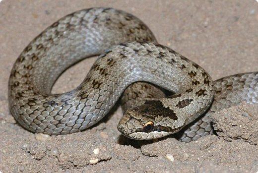 Змея медянка фото 2