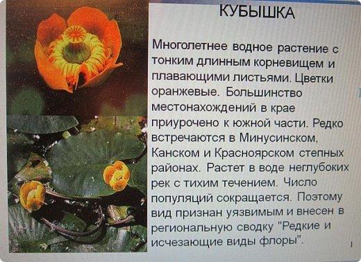 """Здравствуйте.  Для работы выбрала тему """"Царство растений"""" и сделала водяной цветок """"Кубышка желтая"""" Кубышка желтая распространена во многих регионах России. Места ее произрастание – заливы, озера, пруды, речные тихие мелководья. Корневище растения очень ветвистое, от него расползаются десятки корней по дну водоема. Диаметр зависит от возраста кубышки – корень взрослого растения может достигать 10 сантиметров в толщину. Стебель кубышки желтой практически полностью скрыт под водой, на поверхности остается лишь небольшая часть с цветком. Он упругий и длинный, порой достигает 2-3 метров.  Мясистые крупные листья лежат на воде. Они ярко-зеленого цвета, блестят на солнце. Цветок кубышки желтый. Его «лепестки» являются чашелистиками. Они окружают цветок и защищают его. В плохую погоду и в ночное время они закрыты. Большая часть цветка – тычинки с пыльниками. В центре расположена многозвеньевая завязь, в которой образуется плод растения. Период цветение – с мая по август. Плод напоминает кувшин, в котором спрятаны семена.   фото 2"""
