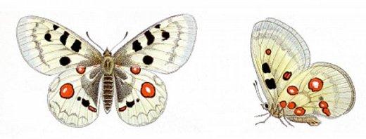Аполлон обыкновенный – Один из наиболее крупных видов чешуекрылых фауны Алтая. Длина переднего крыла 30–40 (до 58) мм, фон крыльев белый у самцов и сероватый (за счет напыления темных чешуек) у самок; краевая зона переднего крыла полупрозрачная, на переднем крыле в срединной части крыла несколько округлых чёрных пятен. На заднем крыле с обеих сторон два красных или желтовато-оранжевых округлых дискальных пятна, окаймлённых чёрным,иногда центрированных белым ядрышком; снизу задних крыльев имеются прикорневые красные пятна с белыми ядрышками, края крыльев без отчетливых чёрных пятен у концов жилок, передние крылья, как правило, не несут красных пятен, выраженным половым диморфизмом. Самки гораздо темнее за счет как напыления фона, так и сильного развития темных элементов рисунка, часто крупнее самцов. Аполлон требует охраны, он внесен в Красную книгу республики Алтай. фото 2