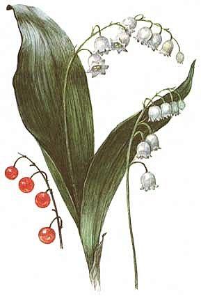 """Многолетнее травянистое растение высотой 15-20 см. От корневища отходят 2, реже 1-3 листа длиной около 20 см и тонкая цветочная стрелка, почти равная по длине листьям, окруженная у основания пленчатыми листочками. Сверху цветочной стрелки однобокой повислой кистью собраны приятно пахнущие белые цветки (5-20 штук), похожие на маленькие шарообразные колокольчики. Плод - красная ягода. Все растение ядовито. Цветет в апреле - июне, плодоносит в августе - сентябре. Ландыш известен с древности как ценное лекарственное растение.  Научное название майского ландыша происходит от греческих слов """"конваллис"""" - долина, """"лирион"""" - лилия и """"майялис"""" - майская, т. е. """"лилия долин, цветущая в мае"""".  Ландыш - любимый цветок многих народов, особенно французов, где в первое, майское воскресенье отмечают праздник ландышей.  Об этом растении сложены легенды. Одна из них рассказывает, как Ландыш влюбился в Весну, а когда она ушла, он горько плакал, и кровь выступила у него из сердца, и окрасила слезы - красные плоды, которые, появляются на стебле после цветения. (http://www.zooclub.ru/flora/lilii/11.shtml)  фото 2"""