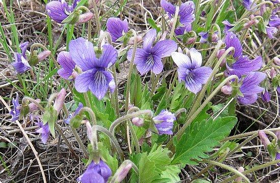 Фиалка надрезанная — один из нежнейших и прекраснейших цветков. Относящаяся к семейству фиалковых, она предпочитает расти на берегах рек, опушках хвойных лесов, каменистых склонах, лугах. Это бесстебельное растение в высоту достигает 3-6 см. Короткие черешки переходят в овальные перистонадрезанные листочки. Цветоносы оснащены узколанцетными прицветниками. Нежные чашелистики имеют эллиптическую форму, шпорец достигает в длину 5 мм, но главное очарование цветка — фиолетовые венчики. Размножается фиалка надрезанная семенами, которые образуются не каждый год. Поэтому неудивительно, что это нежное растение занесено в Красную книгу. http://cicon.ru/viola-incisa.html        фото 2