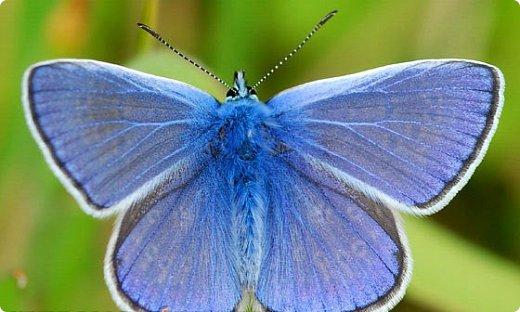 Голубянка Цицерон фото 13