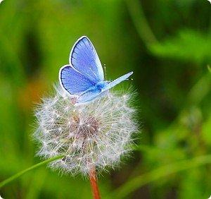 Голубянка Цицерон фото 12